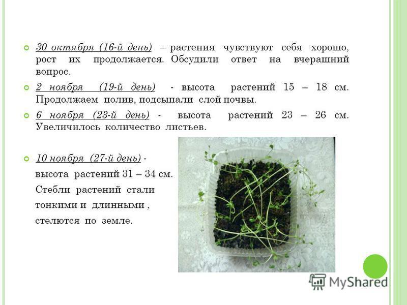 30 октября (16-й день) – растения чувствуют себя хорошо, рост их продолжается. Обсудили ответ на вчерашний вопрос. 2 ноября (19-й день) - высота растений 15 – 18 см. Продолжаем полив, подсыпали слой почвы. 6 ноября (23-й день) - высота растений 23 –