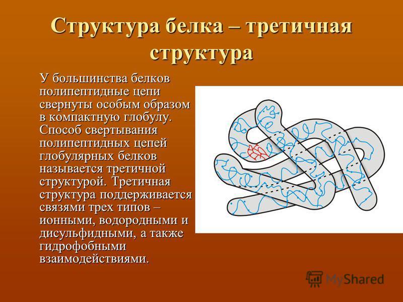 Структура белка – тритичная структура У большинства белков полипептидные цепи свернуты особым образом в компактную глобулу. Способ свертывания полипептидных цепей глобулярных белков называется тритичной структурой. Третичная структура поддерживается