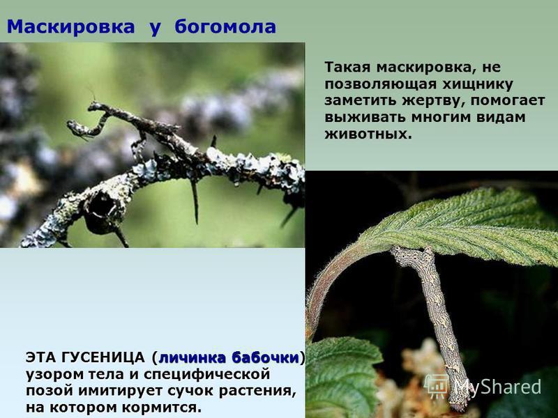 Маскировка у богомола ЭТА ГУСЕНИЦА (личинка бабочки) узором тела и специфической позой имитирует сучок растения, на котором кормится. Такая маскировка, не позволяющая хищнику заметить жертву, помогает выживать многим видам животных.