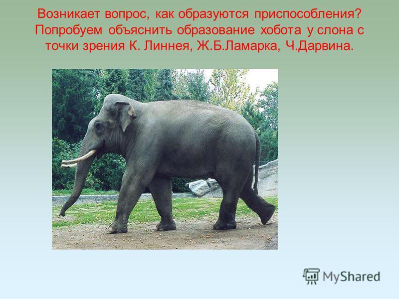 Возникает вопрос, как образуются приспособления? Попробуем объяснить образование хобота у слона с точки зрения К. Линнея, Ж.Б.Ламарка, Ч.Дарвина.