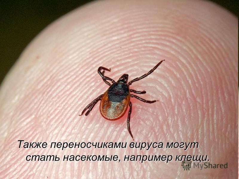 Также переносчиками вируса могут стать насекомые, например клещи.