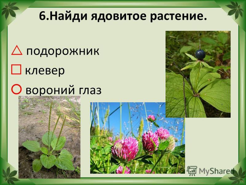6. Найди ядовитое растение. подорожник клевер вороний глаз
