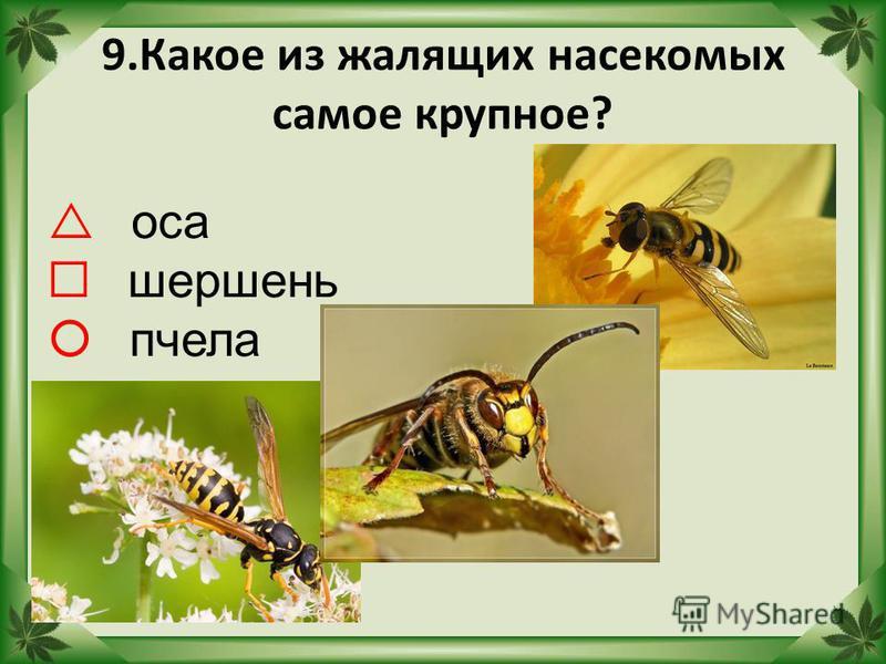 9. Какое из жалящих насекомых самое крупное? оса шершень пчела