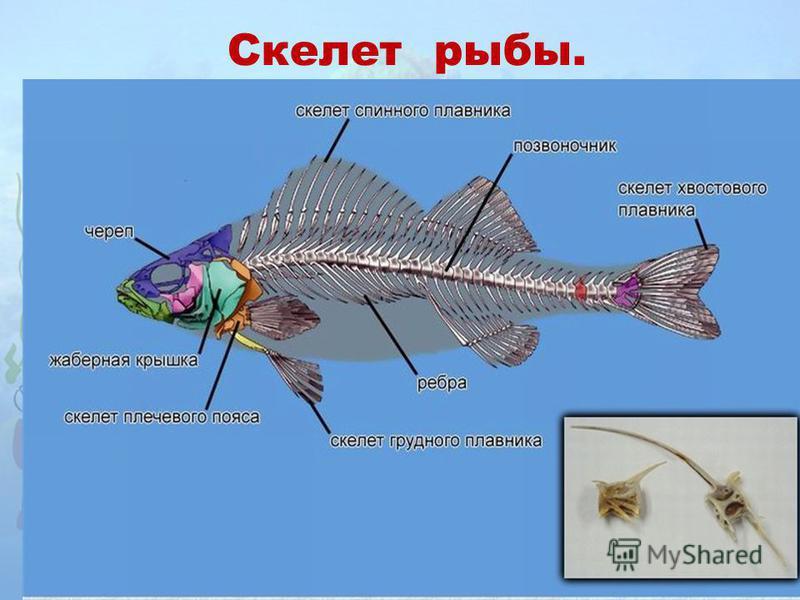 Скелет рыбы.