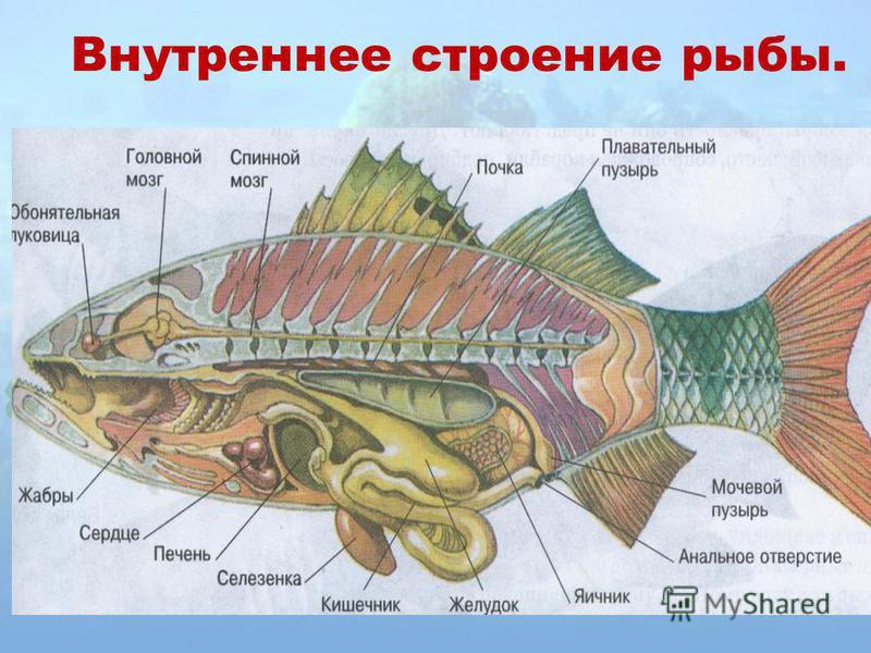 Внутреннее строение рыбы.