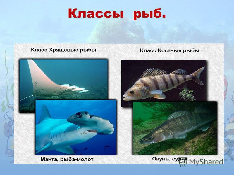 Классы рыб.