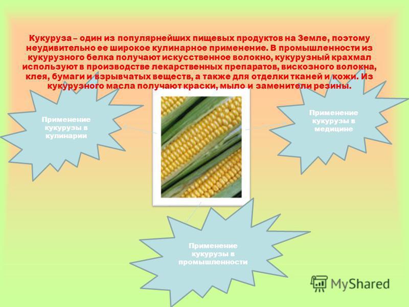 Применение кукурузы в медицине Применение кукурузы в кулинарии Кукуруза – один из популярнейших пищевых продуктов на Земле, поэтому неудивительно ее широкое кулинарное применение. В промышленности из кукурузного белка получают искусственное волокно,