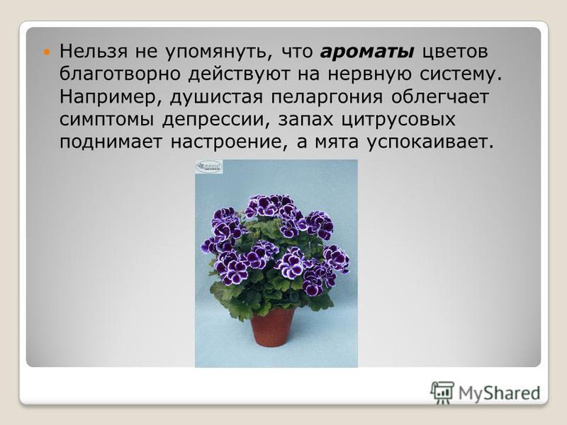 Нельзя не упомянуть, что ароматы цветов благотворно действуют на нервную систему. Например, душистая пеларгония облегчает симптомы депрессии, запах цитрусовых поднимает настроение, а мята успокаивает.