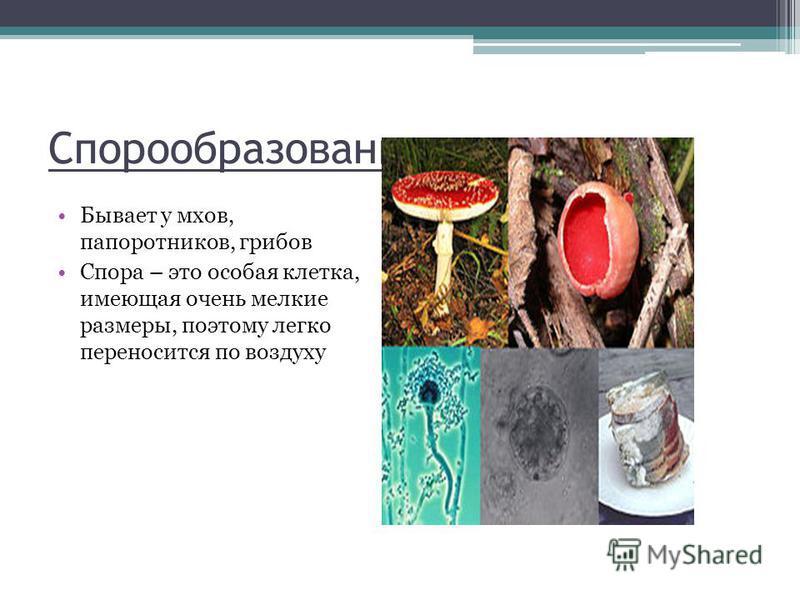 Спорообразование Бывает у мхов, папоротников, грибов Спора – это особая клетка, имеющая очень мелкие размеры, поэтому легко переносится по воздуху