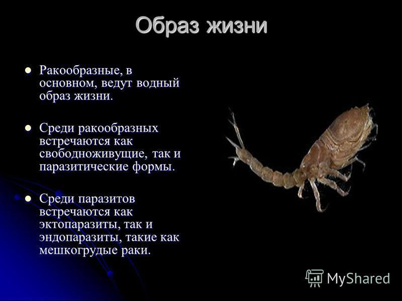 Образ жизни Ракообразные, в основном, ведут водный образ жизни. Ракообразные, в основном, ведут водный образ жизни. Среди ракообразных встречаются как свободноживущие, так и паразитические формы. Среди ракообразных встречаются как свободноживущие, та
