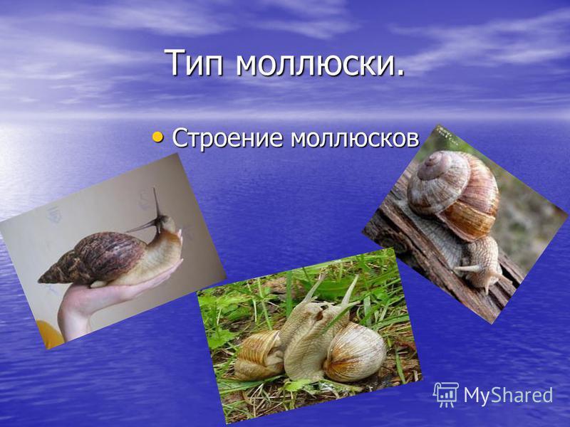 Тип моллюски. Строение моллюсков