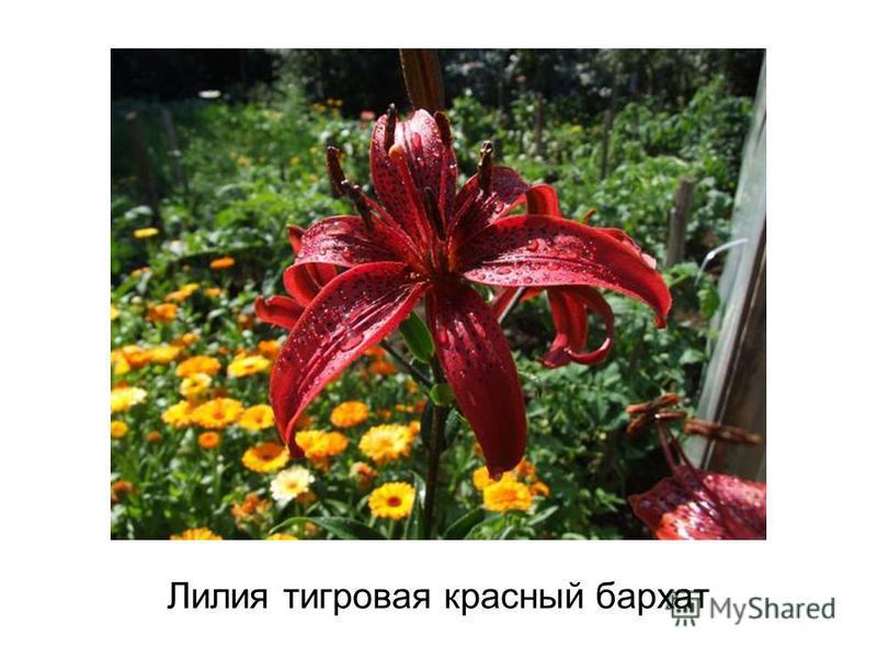 Лилия тигровая красный бархат