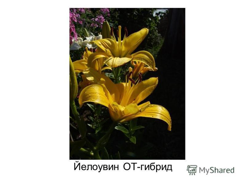 Йелоувин ОТ-гибрид