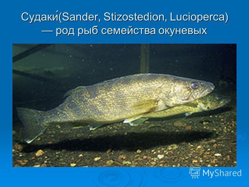 Судаки́(Sander, Stizostedion, Lucioperca) род рыб семейства окуневых