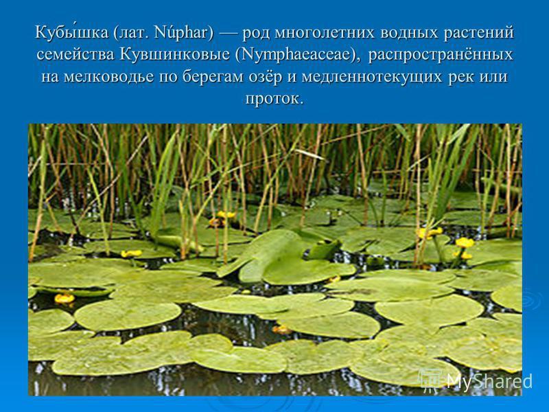 Кубы́шкаф (лат. Núphar) род многолетних водных растений семейства Кувшинковые (Nymphaeaceae), распрострахнённых на мелководье по берегам озёр и медленнотекущих рек или проток.