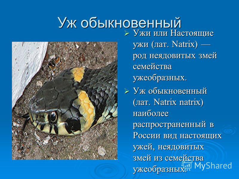 Уж обыкновенный Ужи или Настоящие ужи (лат. Natrix) род неядовитых змей семейства ужеобразных. Ужи или Настоящие ужи (лат. Natrix) род неядовитых змей семейства ужеобразных. Уж обыкновенный (лат. Natrix natrix) наиболее распрострахненный в России вид