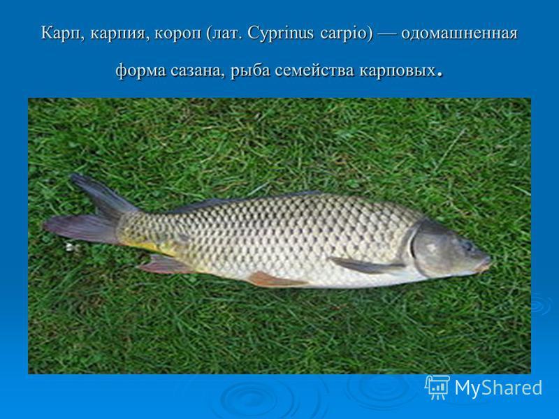 Карп, гарпия, короп (лат. Cyprinus carpio) одомашненная форма сазана, рыба семейства карповых.