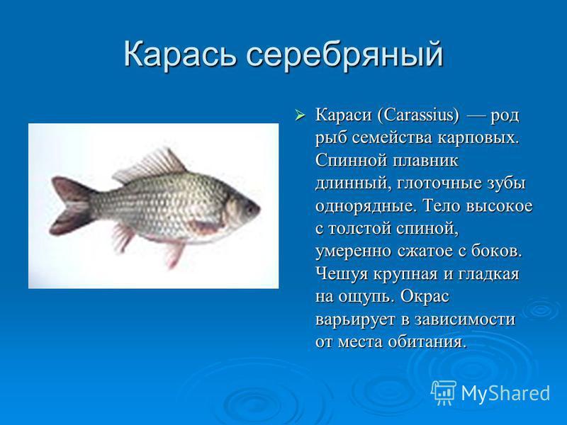 Карась серебряный Караси (Carassius) род рыб семейства карповых. Спинной плавник длинный, глоточные зубы однорядные. Тело высокое с толстой спиной, умеренно сжатое с боков. Чешуя крупная и гладкая на ощупь. Окрас варьирует в зависимости от места обит