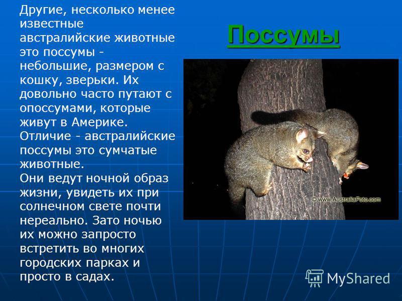 Поссумы Другие, несколько менее известные австралийские животные это поссумы - небольшие, размером с кошку, зверьки. Их довольно часто путают с опоссумами, которые живут в Америке. Отличие - австралийские поссумы это сумчатые животные. Они ведут ночн