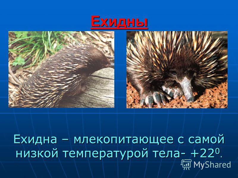 Ехидны Ехидна – млекопитающее с самой низкой температурой тела- +22 0.