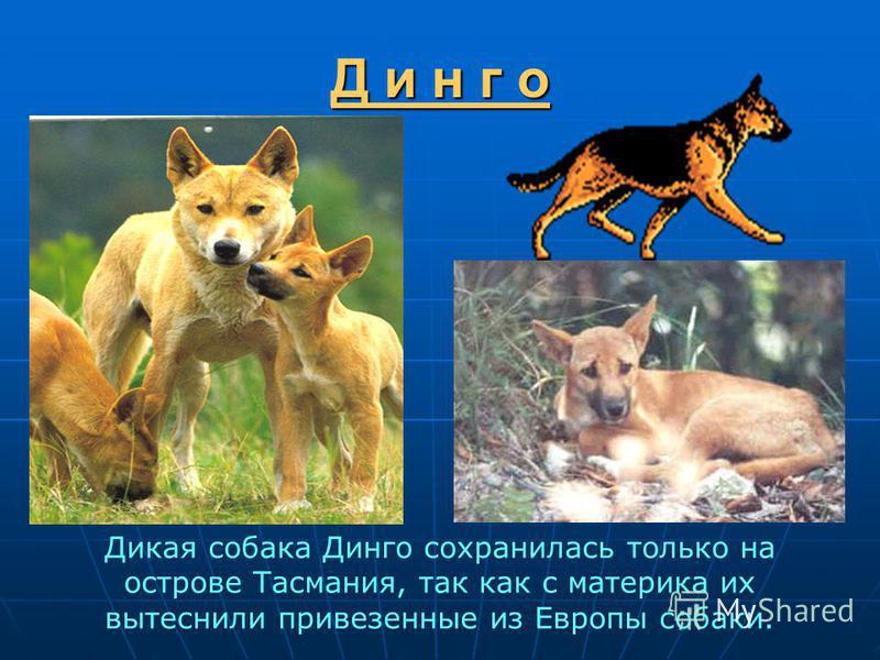 Д и н г о Дикая собака Динго сохранилась только на острове Тасмания, так как с материка их вытеснили привезенные из Европы собаки.