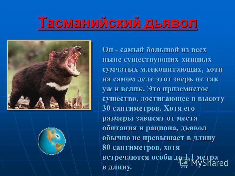 Тасманийский дьявол Он - самый большой из всех ныне существующих хищных сумчатых млекопитающих, хотя на самом деле этот зверь не так уж и велик. Это приземистое существо, достигающее в высоту 30 сантиметров. Хотя его размеры зависят от места обитания