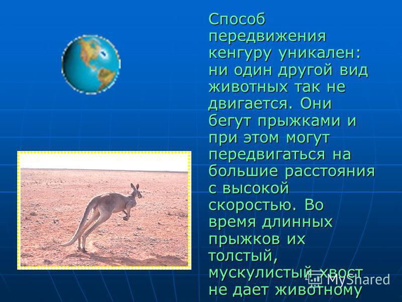 Способ передвижения кенгуру уникален: ни один другой вид животных так не двигается. Они бегут прыжками и при этом могут передвигаться на большие расстояния с высокой скоростью. Во время длинных прыжков их толстый, мускулистый хвост не дает животному