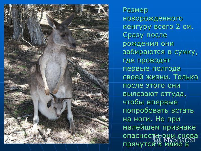 Размер новорожденного кенгуру всего 2 см. Сразу после рождения они забираются в сумку, где проводят первые полгода своей жизни. Только после этого они вылезают оттуда, чтобы впервые попробовать встать на ноги. Но при малейшем признаке опасности они с