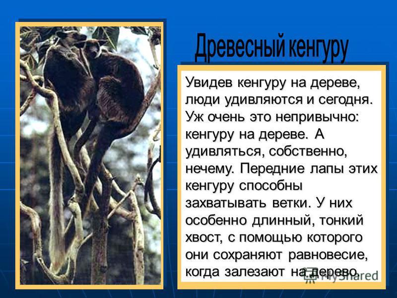 Увидев кенгуру на дереве, люди удивляются и сегодня. Уж очень это непривычно: кенгуру на дереве. А удивляться, собственно, нечему. Передние лапы этих кенгуру способны захватывать ветки. У них особенно длинный, тонкий хвост, с помощью которого они сох