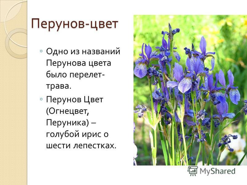 Перунов - цвет Одно из названий Перунова цвета было перелет - трава. Перунов Цвет ( Огнецвет, Перуника ) – голубой ирис о шести лепестках.