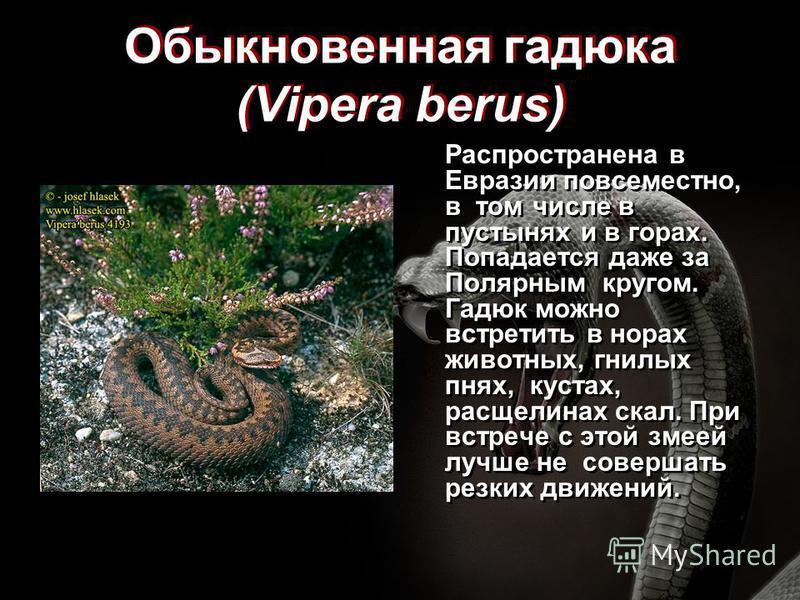 Обыкновенная гадюка (Vipera berus) Распространена в Евразии повсеместно, в том числе в пустынях и в горах. Попадается даже за Полярным кругом. Гадюк можно встретить в норах животных, гнилых пнях, кустах, расщелинах скал. При встрече с этой змеей лучш