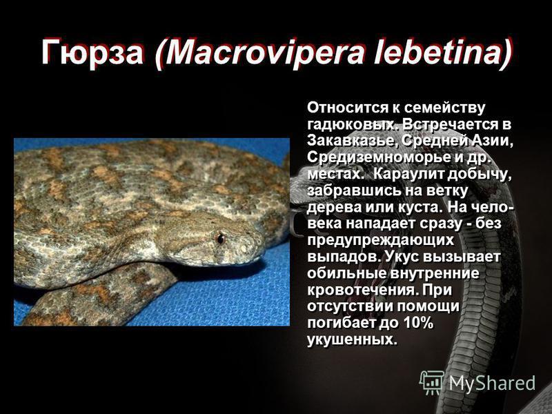 Гюрза (Macrovipera lebetina) Относится к семейству гадюковых. Встречается в Закавказье, Средней Азии, Средиземноморье и др. местах. Караулит добычу, забравшись на ветку дерева или куста. На чело- века нападает сразу - без предупреждающих выпадов. Уку