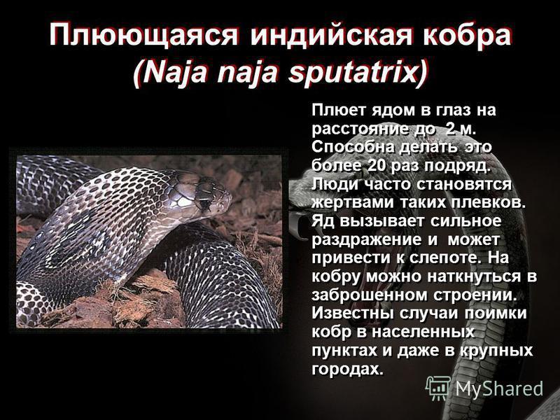 Плюющаяся индийская кобра (Naja naja sputatrix) Плюет ядом в глаз на расстояние до 2 м. Способна делать это более 20 раз подряд. Люди часто становятся жертвами таких плевков. Яд вызывает сильное раздражение и может привести к слепоте. На кобру можно