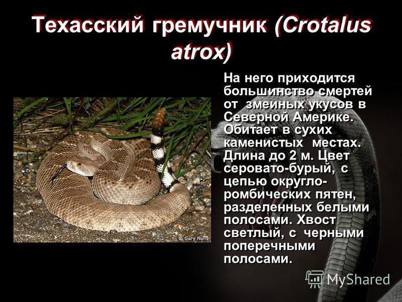 Техасский гремучник (Crotalus atrox) На него приходится большинство смертей от змеиных укусов в Северной Америке. Обитает в сухих каменистых местах. Длина до 2 м. Цвет серовато-бурый, с цепью округло- ромбических пятен, разделенных белыми полосами. Х