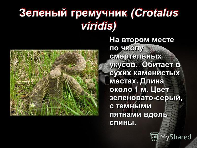Зеленый гремучник (Crotalus viridis) На втором месте по числу смертельных укусов. Обитает в сухих каменистых местах. Длина около 1 м. Цвет зеленовато-серый, с темными пятнами вдоль спины.