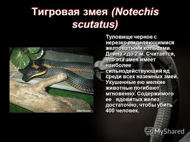 Тигровая змея (Notechis scutatus) Туловище черное с нерезко выделяющимися желтоватыми кольцами. Длина - до 2 м. Считается, что эта змея имеет наиболее сильнодействующий яд среди всех наземных змей. Укушенные ею мелкие животные погибают мгновенно. Сод