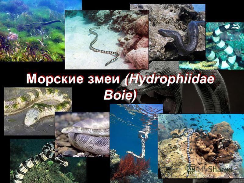 Морские змеи (Hydrophiidae Boie)