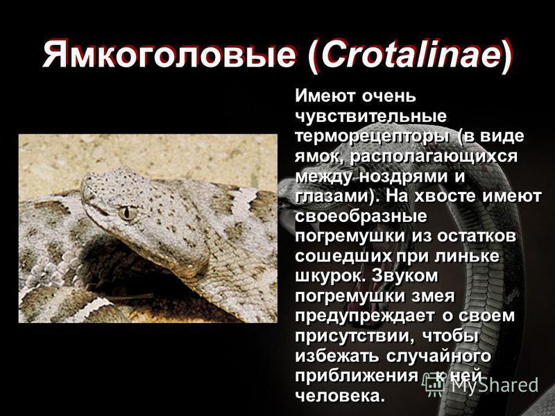 Ямкоголовые (Crotalinae) Имеют очень чувствительные терморецепторы (в виде ямок, располагающихся между ноздрями и глазами). На хвосте имеют своеобразные погремушки из остатков сошедших при линьке шкурок. Звуком погремушки змея предупреждает о своем п
