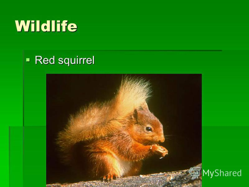 Wildlife Red squirrel Red squirrel