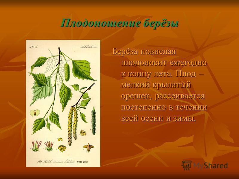 Плодоношение берёзы Берёза повислая плодоносит ежегодно к концу лета. Плод – мелкий крылатый орешек, рассеивается постепенно в течении всей осени и зимы.