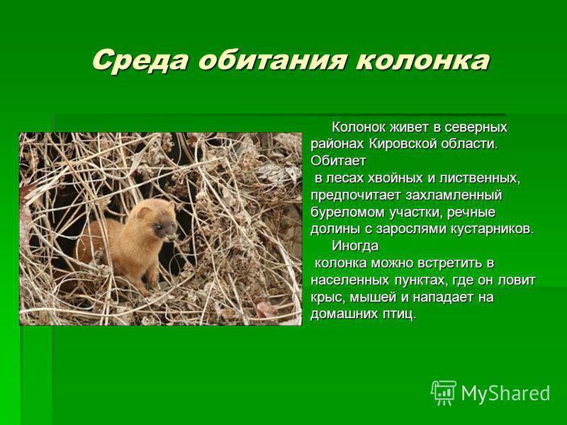 Среда обитания колонка Колонок живет в северных районах Кировской области. Обитает в лесах хвойных и лиственных, в лесах хвойных и лиственных, предпочитает захламленный буреломом участки, речные долины с зарослями кустарников. Иногда колонка можно вс