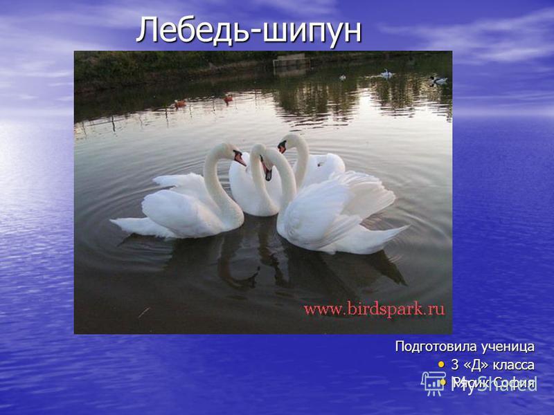Лебедь-шипун Подготовила ученица 3 «Д» класса 3 «Д» класса Рясик София Рясик София