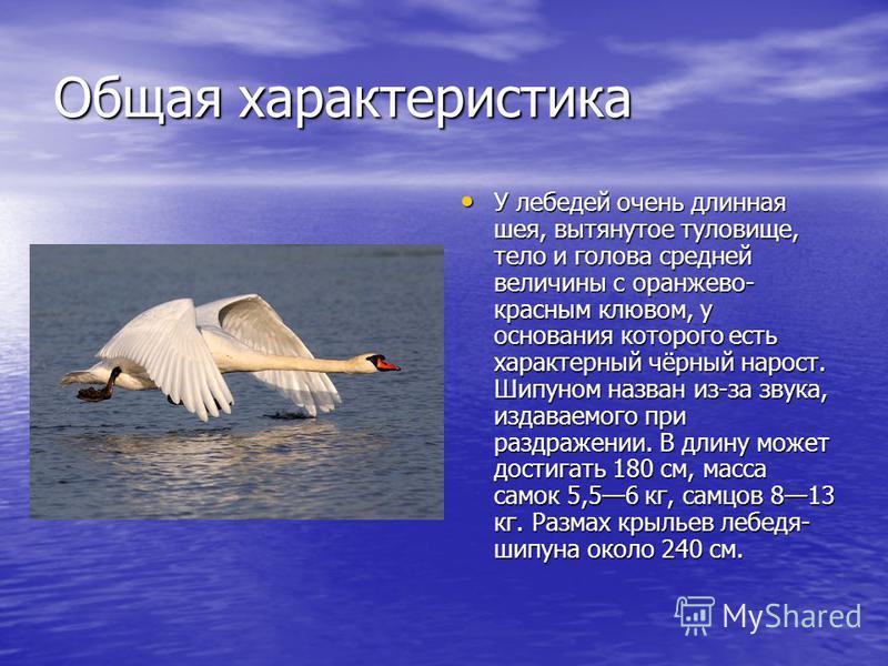 Общая характеристика У лебедей очень длинная шея, вытянутое туловище, тело и голова средней величины с оранжево- красным клювом, у основания которого есть характерный чёрный нарост. Шипуном назван из-за звука, издаваемого при раздражении. В длину мож