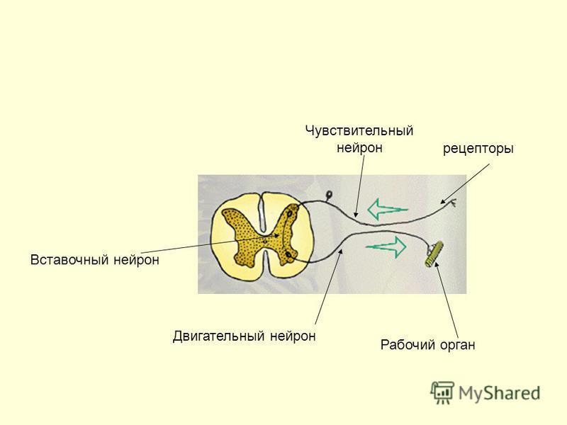Рабочий орган рецепторы Чувствительный нейрон Двигательный нейрон Вставочный нейрон
