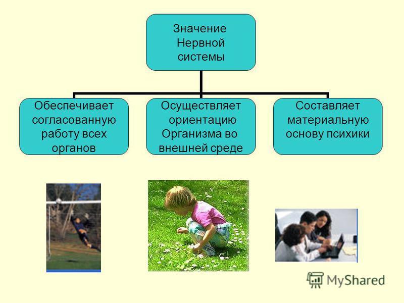 Значение Нервной системы Обеспечивает согласованную работу всех органов Осуществляет ориентацию Организма во внешней среде Составляет материальную основу психики