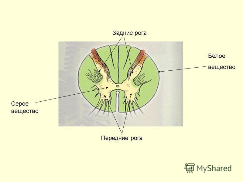Белое вещество Серое вещество Задние рога Передние рога