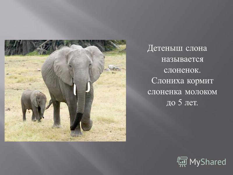Детеныш слона называется слоненок. Слониха кормит слоненка молоком до 5 лет.
