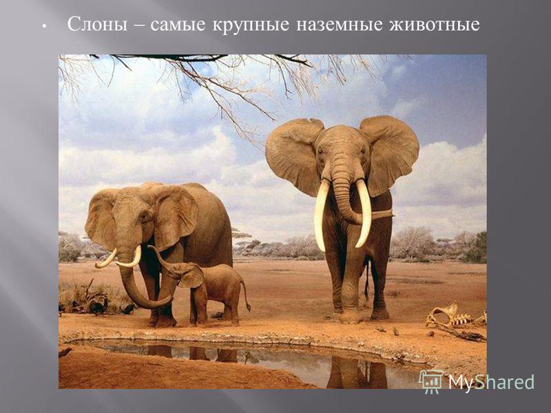 Слоны – самые крупные наземные животные