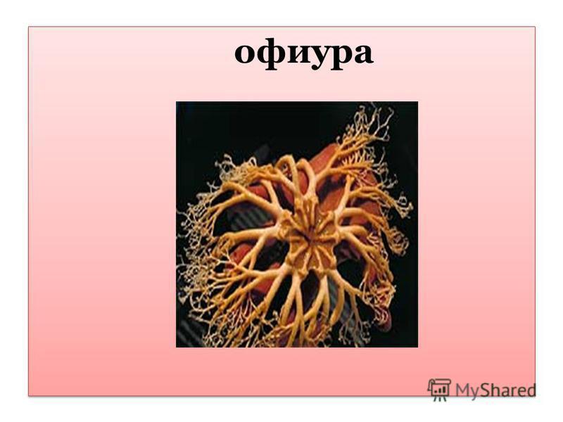 офиура