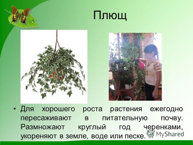 Плющ Для хорошего роста растения ежегодно пересаживают в питательную почву. Размножают круглый год черенками, укореняют в земле, воде или песке.